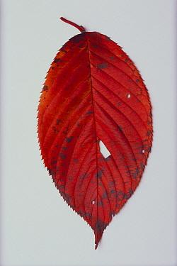 Yoshino Cherry (Prunus yedoensis) leaf, Tokyo, Japan  -  Takahisa Hirano/ Nature Producti