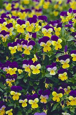 Pansy (Viola wittrockiana) flowers, Fujisawa Tsujido Park, Kanagawa, Japan  -  Takahisa Hirano/ Nature Producti