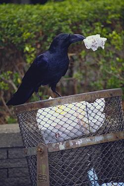 Large-billed Crow (Corvus macrorhynchos) rummaging in trash bin  -  Toshiaki Ida/ Nature Production