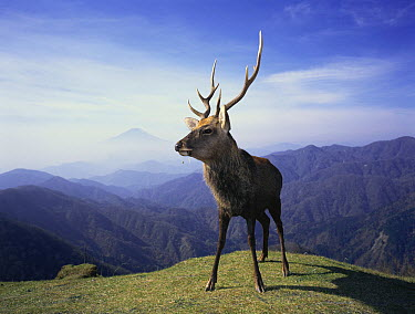 Sika Deer (Cervus nippon) male, Kanagawa, Japan  -  Toshiaki Ida/ Nature Production