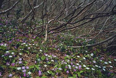 Anemone (Anemone pseudoaltaica) flowers in woodland understory, Sado, Niigata, Japan  -  Masashi Igari/ Nature Production