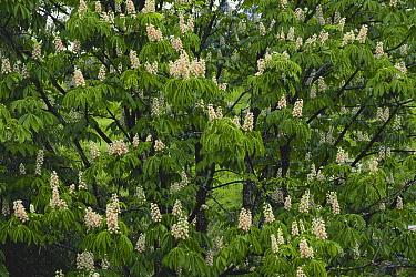 Japanese Horse Chestnut (Aesculus turbinata) flowers and leaves, Nagano, Japan  -  Masashi Igari/ Nature Production