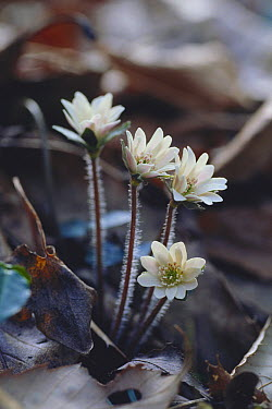 European Liver Leaf (Hepatica nobilis) flowers emerging, Aichi, Japan  -  Masashi Igari/ Nature Production