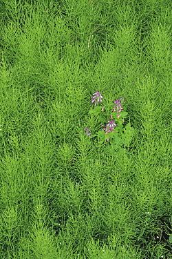 Fumewort (Corydalis incisa) flowers and foliage, Niigata, Japan  -  Masashi Igari/ Nature Production