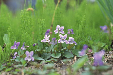 Violet (Viola japonica) flowers, Niigata, Japan  -  Masashi Igari/ Nature Production