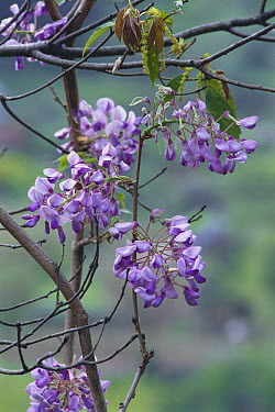Wisteria (Wisteria brachybotrys) flowers, Kochi, Japan  -  Masashi Igari/ Nature Production