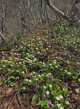 Anemone (Anemone pseudoaltaica) plants flowering in forest understory, Sado, Niigata, Japan  -  Masashi Igari/ Nature Production