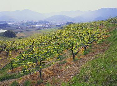 Japanese Persimmon (Diospyros kaki) orchard, Aichi, Japan  -  Masashi Igari/ Nature Production