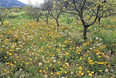 Red-seeded Dandelion (Taraxacum erythrospermum) field in orchard understory, Aichi, Japan  -  Masashi Igari/ Nature Production