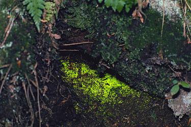 Schistostega Moss (Schistostega pennata), lumiscent moss also called goblin's gold  -  Masana Izawa/ Nature Production