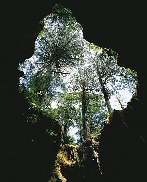 Japanese Cedar (Cryptomeria japonica) trees seen from inside a hollow trunk, Yakushima, Kagoshima, Japan  -  Masana Izawa/ Nature Production