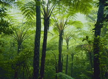 Treefern (Cyathea lepifera) forest  -  Masana Izawa/ Nature Production