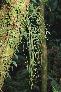 Clubmoss (Huperzia sieboldii) hanging from tree  -  Masana Izawa/ Nature Production