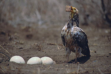 Egyptian Vulture (Neophron percnopterus) lifting a rock to crack Ostrich (Struthio camelus) eggs in nest  -  Masahiro Iijima/ Nature Producti
