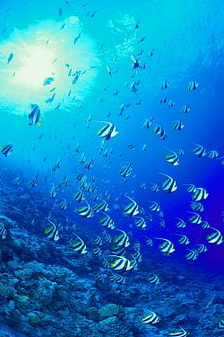 Bannerfish (Heniochus diphreutes) school, Maldives  -  Yasuaki Kagii/ Nature Production