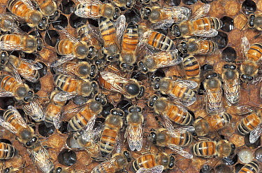 Honey Bee (Apis mellifera) performing waggle dance at colony, Nagasaki, Japan  -  Satoshi Kuribayashi/ Nature Prod