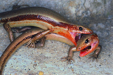 Five-lined Skink (Eumeces fasciatus) pair interacting  -  Satoshi Kuribayashi/ Nature Prod