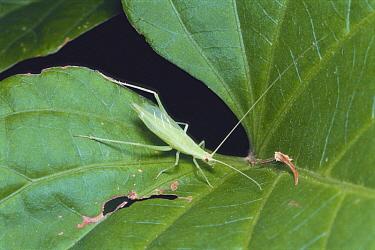 Cricket (Oecanthus longicauda)  -  Satoshi Kuribayashi/ Nature Prod