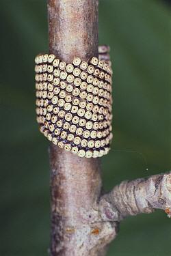 Lackey Moth (Malacosoma neustria) egg cases  -  Satoshi Kuribayashi/ Nature Prod