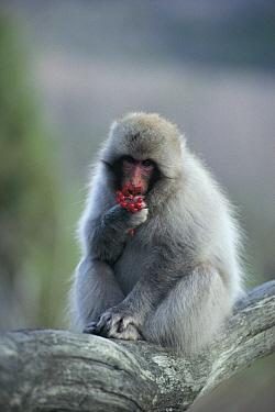 Japanese Macaque (Macaca fuscata) eating fruit  -  Tetsuo Kinoshita/ Nature Product