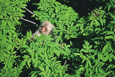 Japanese Macaque (Macaca fuscata) emerging from tree canopy  -  Tetsuo Kinoshita/ Nature Product