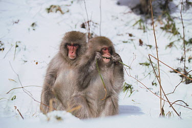 Japanese Macaque (Macaca fuscata) pair in snow  -  Tetsuo Kinoshita/ Nature Product