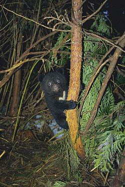 Asiatic Black Bear (Ursus thibetanus) cub climbing a tree  -  Tetsuo Kinoshita/ Nature Product