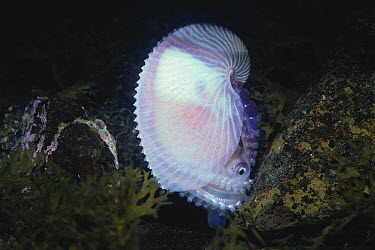 Paper Nautilus (Argonauta argo)  -  Shinji Kusano/ Nature Production