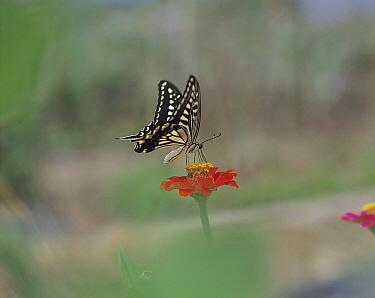 Citrus Swallowtail (Papilio xuthus) butterfly feeding on nectar at Elegant Zinnia (Zinnia elegans) flower, Shiga, Japan  -  Mitsuhiko Imamori/ Nature Produc