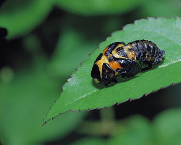 Seven-spotted Ladybird (Coccinella septempunctata) larva molting, Shiga, Japan. Sequence 2 of 16  -  Mitsuhiko Imamori/ Nature Produc