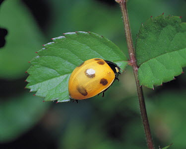Seven-spotted Ladybird (Coccinella septempunctata) newly molted adult developing spots, Shiga, Japan. Sequence 13 of 16  -  Mitsuhiko Imamori/ Nature Produc