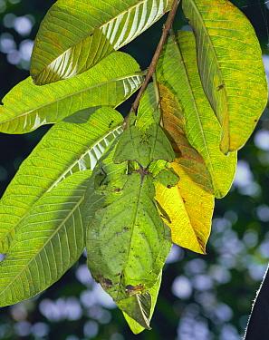 Javanese Leaf Insect (Phyllium bioculatum) camouflaged on leaf cluster, Malaysia  -  Mitsuhiko Imamori/ Nature Produc
