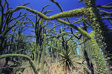 Octopus Tree (Didierea madagascariensis) spiny desert habitat, Madagascar  -  Mitsuhiko Imamori/ Nature Produc