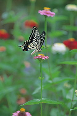 Citrus Swallowtail (Papilio xuthus) butterfly feeding on Elegant Zinnia (Zinnia elegans) nectar, Shiga, Japan  -  Mitsuhiko Imamori/ Nature Produc