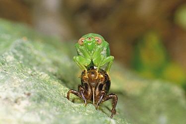 Cicada (Baeturia kuroiwae) emerging from its exoskeleton, Okinawa, Japan  -  Kazuo Minato/ Nature Production