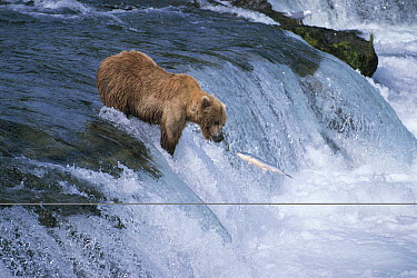 Kodiak Bear (Ursus arctos middendorffi) fishing for salmon at small waterfall, Katmai National Park, Alaska  -  Hiromi Naito/ Nature Production