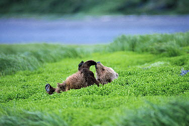 Kodiak Bear (Ursus arctos middendorffi) cub playing on its back, Katmai National Park, Alaska  -  Hiromi Naito/ Nature Production