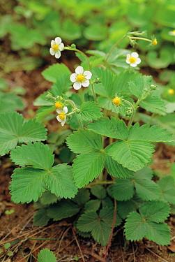 Woodland Strawberry (Fragaria vesca) plant flowering  -  Ryukichi Kameda/ Nature Producti