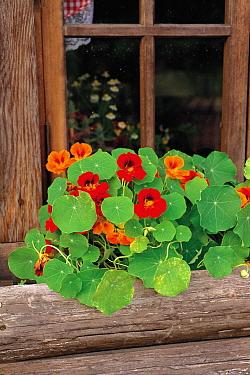 Common Nasturtium (Tropaeolum majus) flowering in windowsill planter  -  Ryukichi Kameda/ Nature Producti