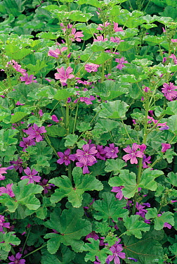 Common Mallow (Malva sylvestris) plants in flower  -  Ryukichi Kameda/ Nature Producti