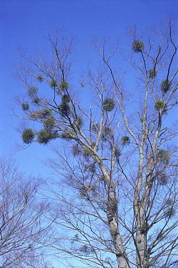 Mistletoe (Viscum album) plants parasitizing a Japanese Zelkova (Zelkova serrata) tree  -  Ryukichi Kameda/ Nature Producti