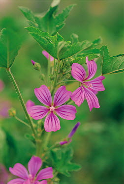 Common Mallow (Malva sylvestris) flowers  -  Ryukichi Kameda/ Nature Producti