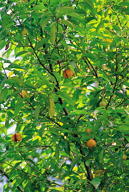 Nutmeg (Myristica fragrans) tree fruiting  -  Ryukichi Kameda/ Nature Producti