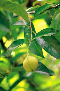 Nutmeg (Myristica fragrans) fruit and leaves  -  Ryukichi Kameda/ Nature Producti