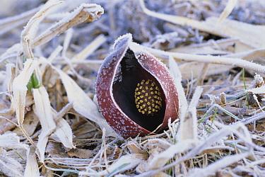 Skunk Cabbage (Symplocarpus foetidus) and frost, Oze, Japan  -  Minori Somada/ Nature Production
