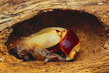 Stag Beetle (Dorcus hopei) molting out of its exoskeleton  -  Manabu Tsutsui/ Nature Productio