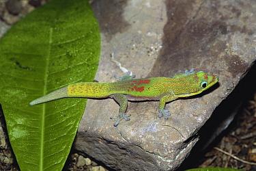 Gold Dust Day Gecko (Phelsuma laticauda)  -  Ryu Uchiyama/ Nature Production