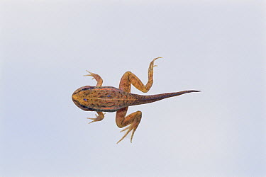 Black-spotted Frog (Rana nigromaculata) tadpole with arms and hind limbs, sequence 4 of 4  -  Ryu Uchiyama/ Nature Production