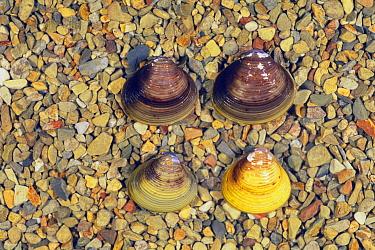 Asian Clam (Corbicula fluminea) group  -  Ryu Uchiyama/ Nature Production