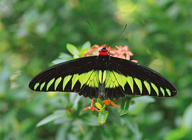 Rajah Brooke's Birdwing (Trogonoptera brookiana), Malaysia  -  Kazuo Unno/ Nature Production